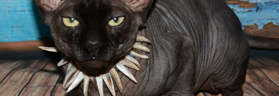 About Sphynx Cats
